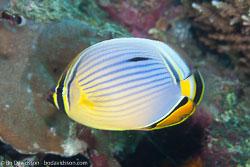 BD-130710-Maldives-0067-Chaetodon-trifasciatus.-Park.-1797-[Melon-butterflyfish].jpg